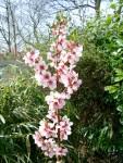 Almond - Robijn - Blossom
